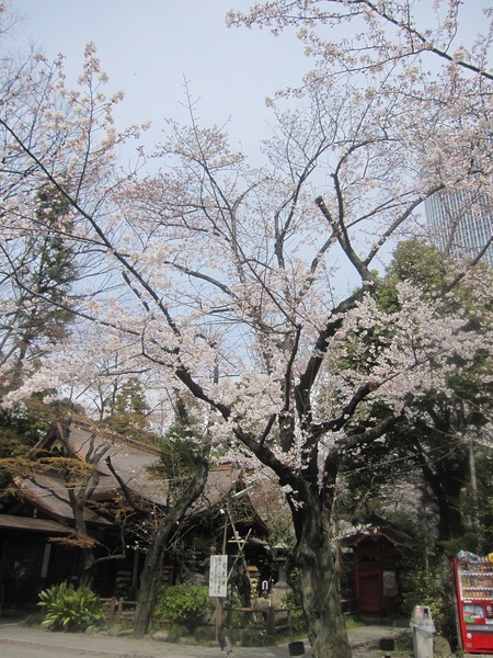 社殿横の桜.jpg