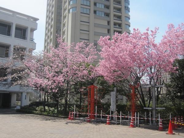 NHK博物館の桜.jpg